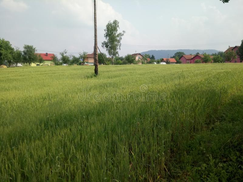 Wheat fields green. Wheat fields in the development of the summer green stock photography