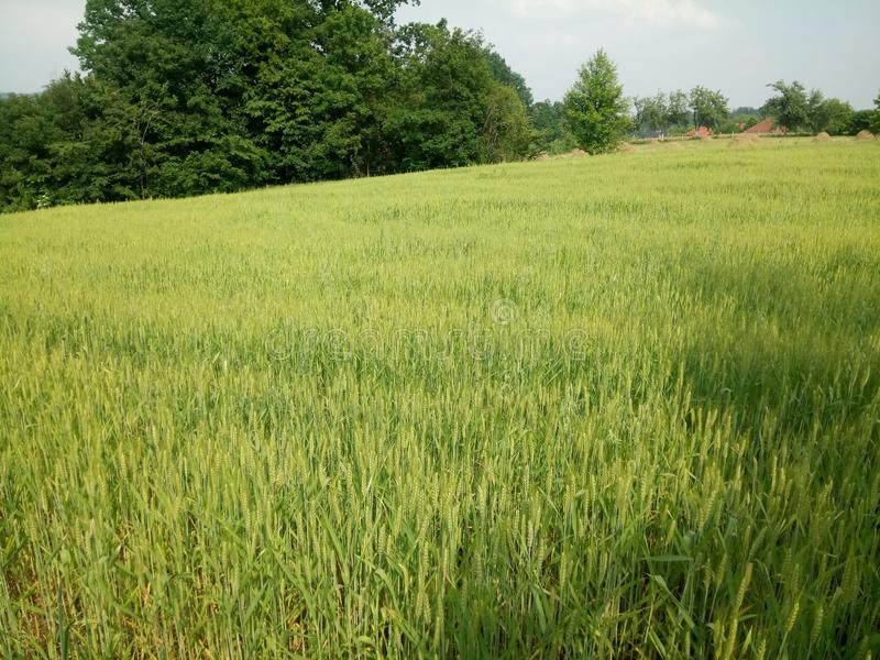 Wheat fields green. Wheat fields in the development of the summer green royalty free stock images