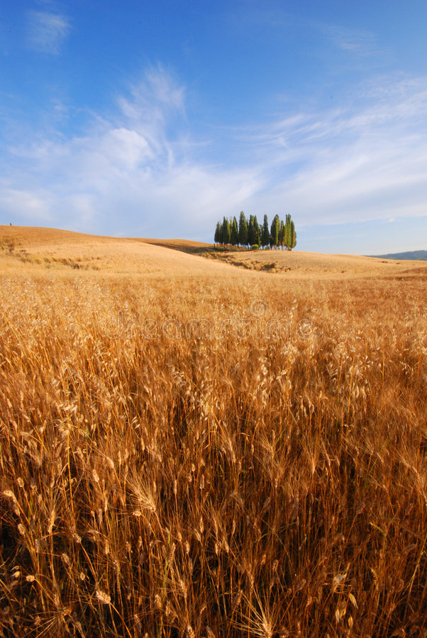 Free Wheat Fields In Tuscany Stock Images - 2742364