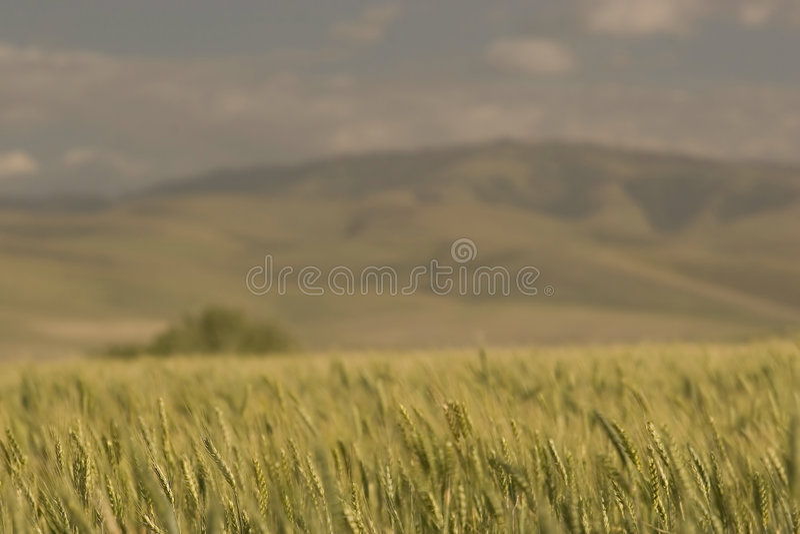 Wheat Fields, near Pendleton stock image