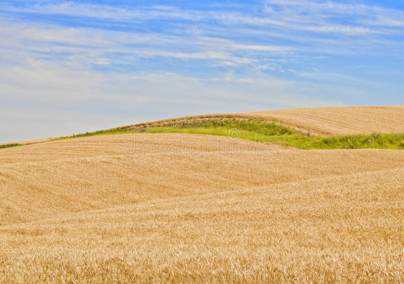 Wheat Fields, Palouse Washington. A field of golden yellow wheat crop, with a stripe of green stretches to the horizon on a farm located in scenic agricultural stock images
