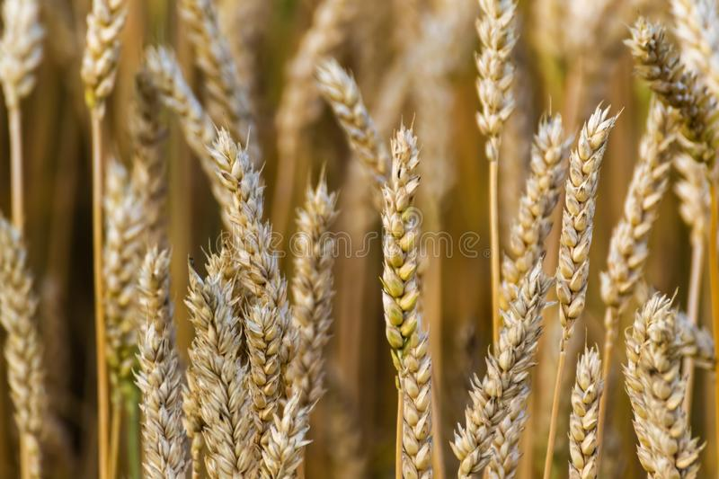 Wheat fields in summer Agricultural, cereal Tamron 70 300 mm with Nikon D3100 dslr royalty free stock photos