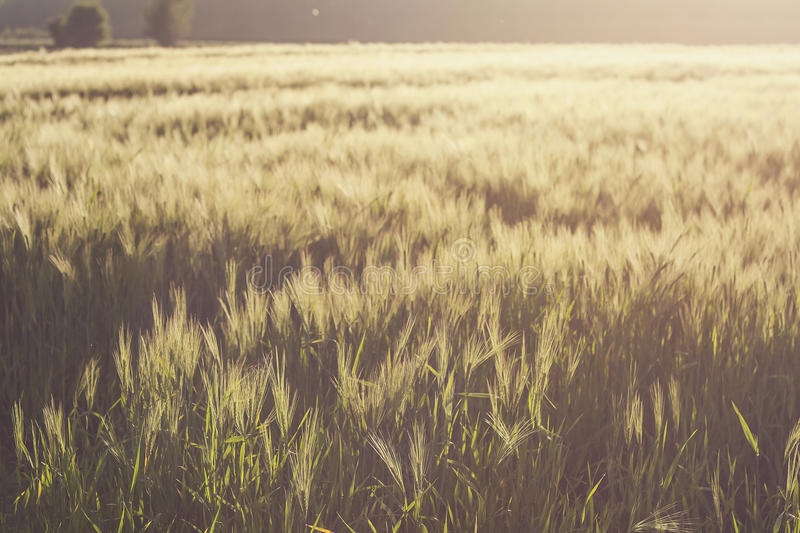 Wheat fields in summer stock photos