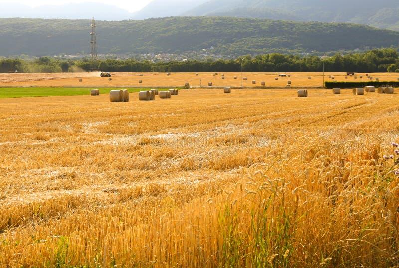 Wheat fields in Switzerland royalty free stock photo