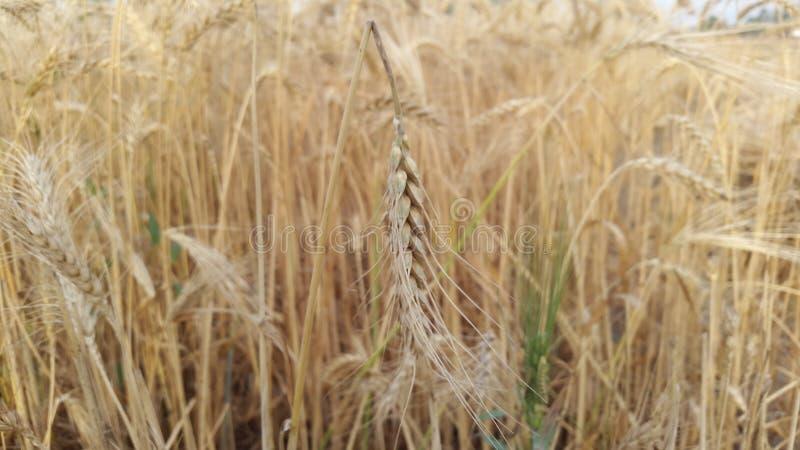 Wheat fields in village royalty free stock photo