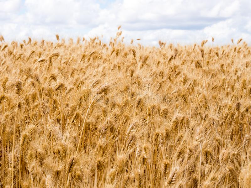 Wheat fields in Washington state, USA. Field of golden ripe wheat in Eastern Washington state, USA royalty free stock image
