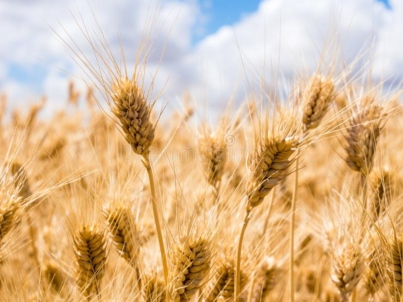 Wheat fields in Washington state, USA. Field of golden ripe wheat in Eastern Washington state, USA stock images