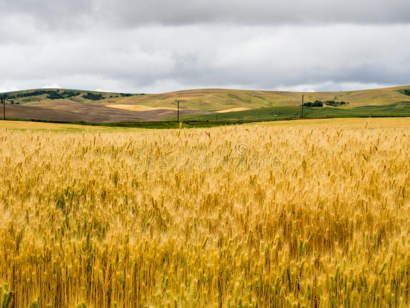 Wheat fields in Washington state, USA. Stormy clouds over fiedls of ripe wheat in Eastern Washington state, USA stock image