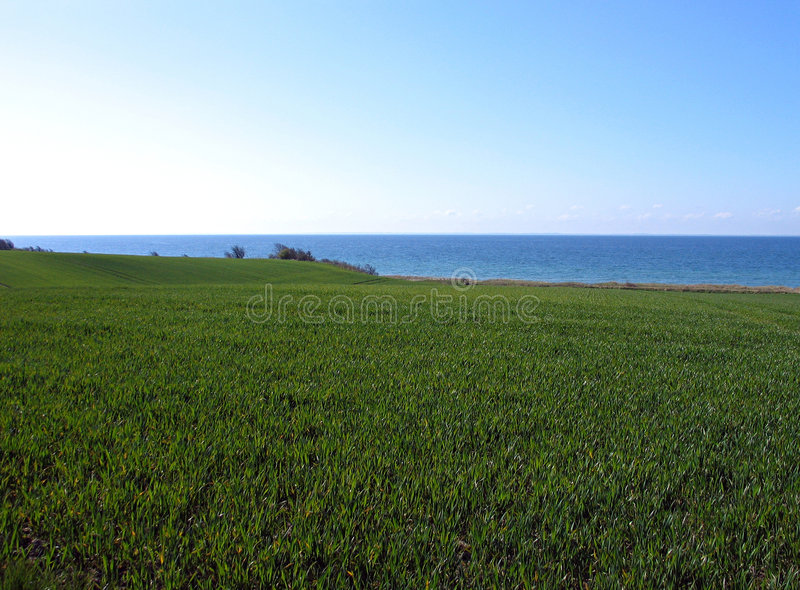 Wheat filed ocean background. Green wheat filed next to blue ocean view - background stock photo