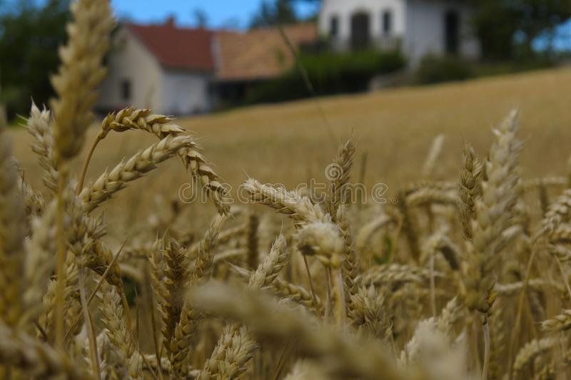 Wheat, Food Grain, Grass Family, Rye royalty free stock photography