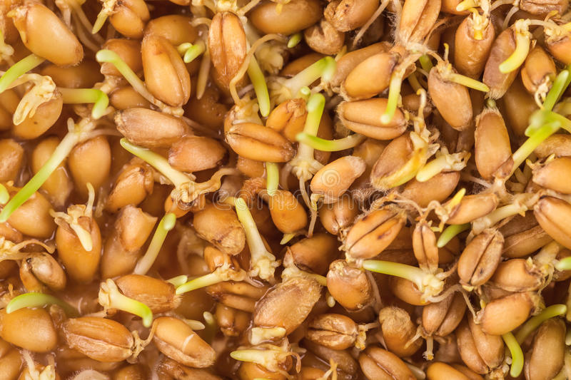 Wheat germ background. Close up of wheat germ background stock images