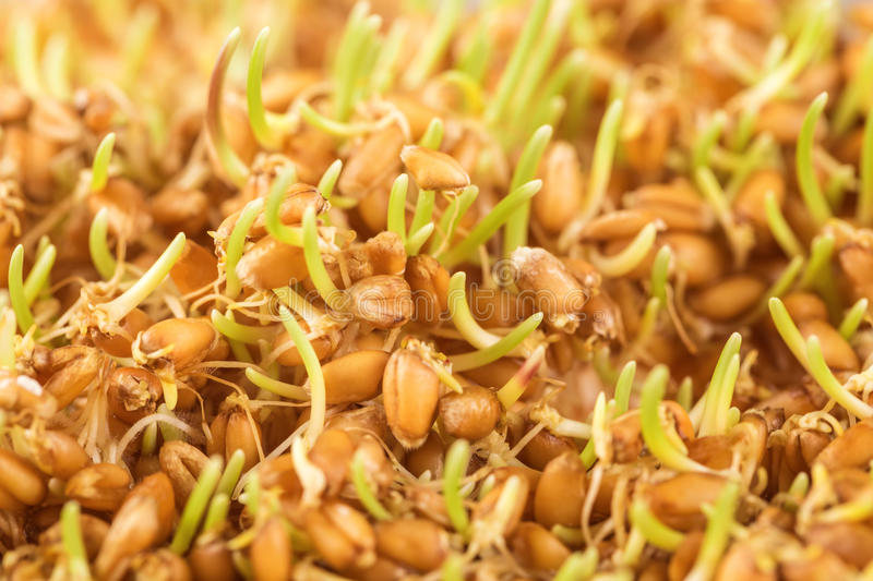 Wheat germ. Close up of wheat germ background stock photo