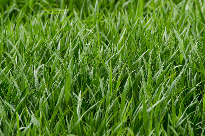 Wheat germ on the field. Green wheat germ on the field royalty free stock photo