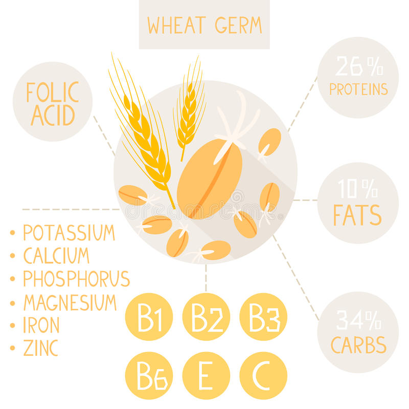 Wheat germ vector illustration