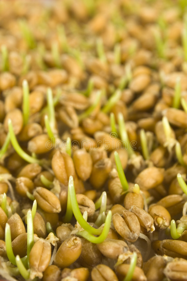 Wheat germs royalty free stock photography
