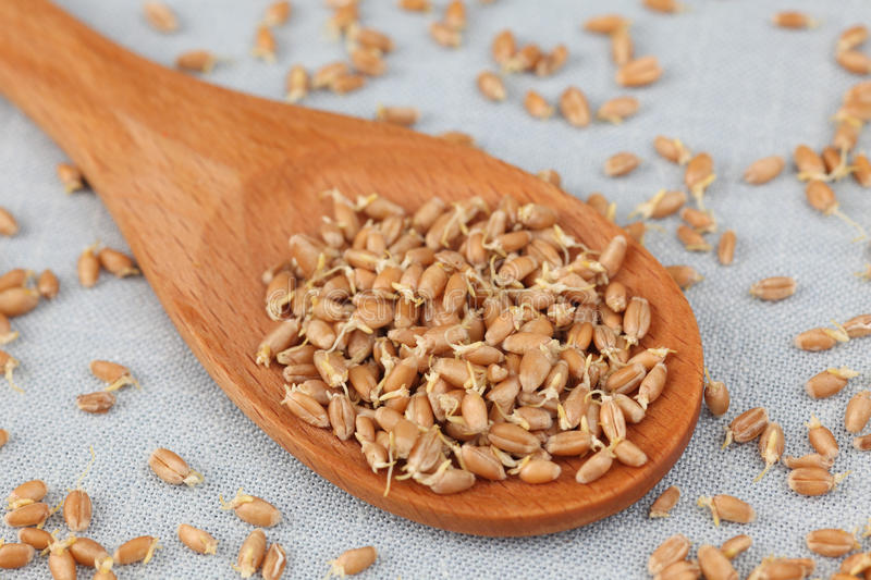 Wheat germs in a wooden spoon (Wheat sprouts). Close-up royalty free stock photos