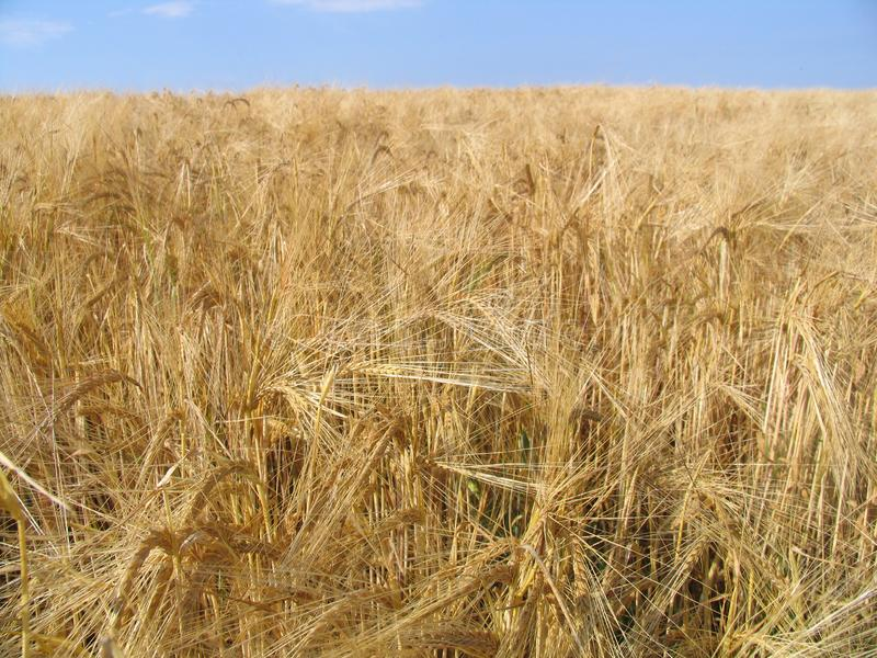 Wheat gold stock photo