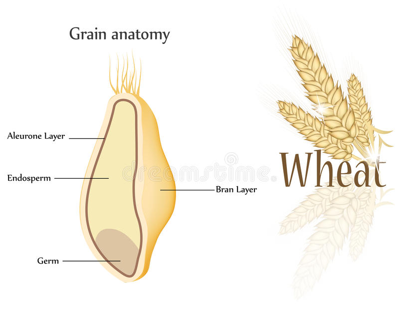 Wheat and grain royalty free illustration