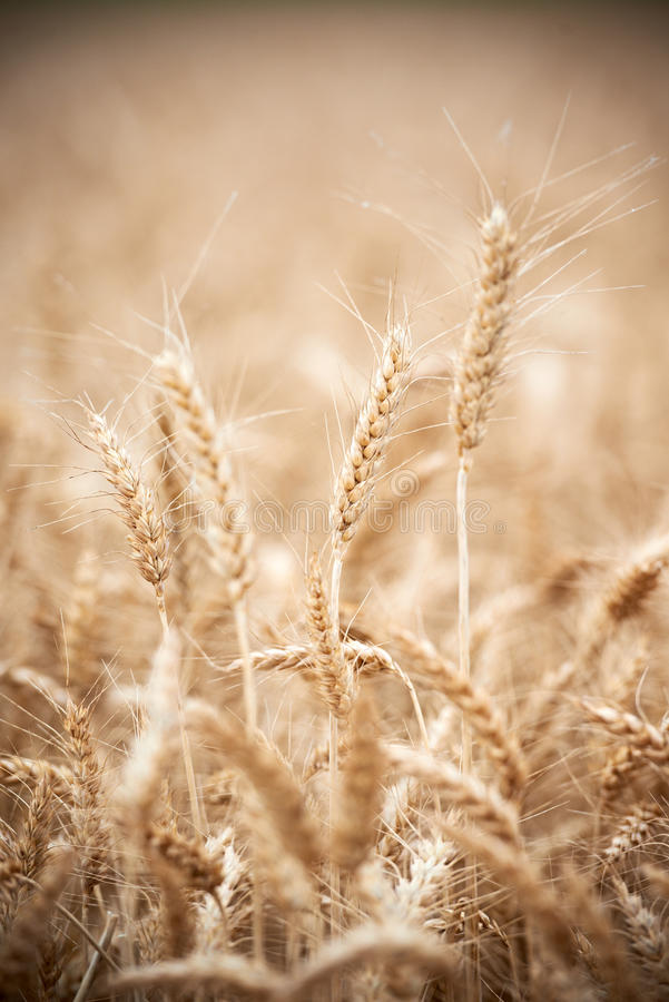 Download Wheat Grain Crop Ears On Field Stock Image - Image: 32352149