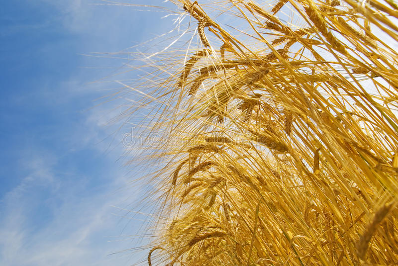 Wheat grain field royalty free stock photography