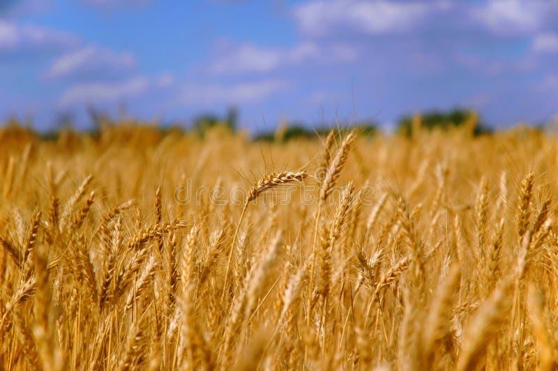 Wheat grain field stock image
