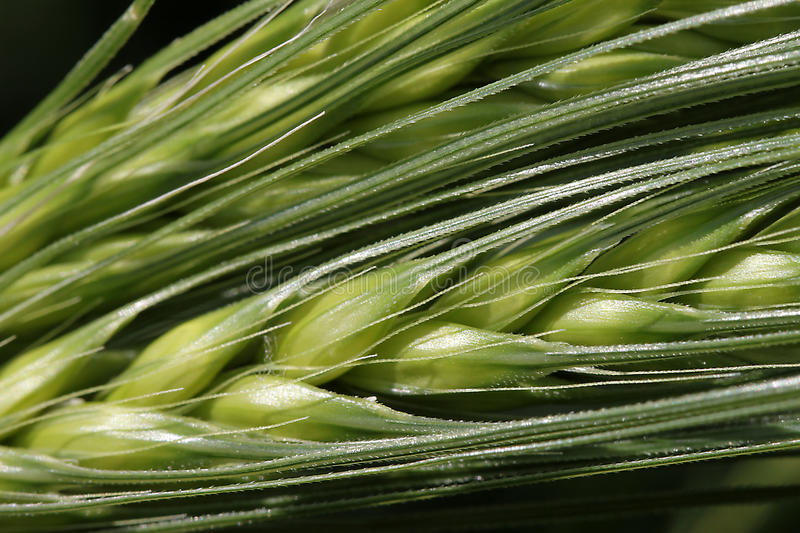 Download Wheat Grains Stock Photos - Image: 14437823