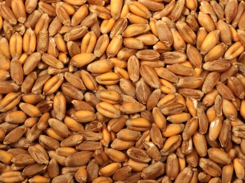 Wheat grains stock photos