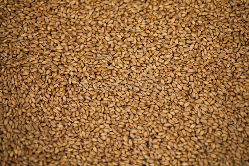 Wheat grains background royalty free stock photo
