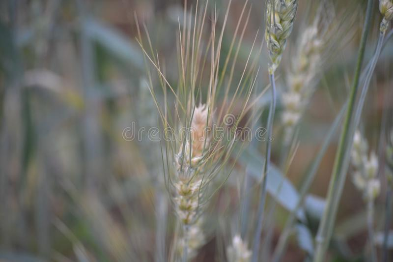 Wheat grains in the farm stock photo