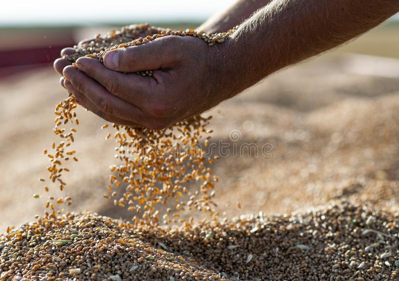 Wheat grains in hands at mill storage stock photography