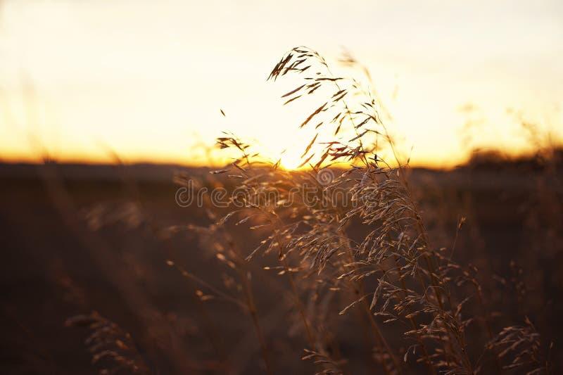 Wheat/Grains On A Prairie Sunset Stock Photo