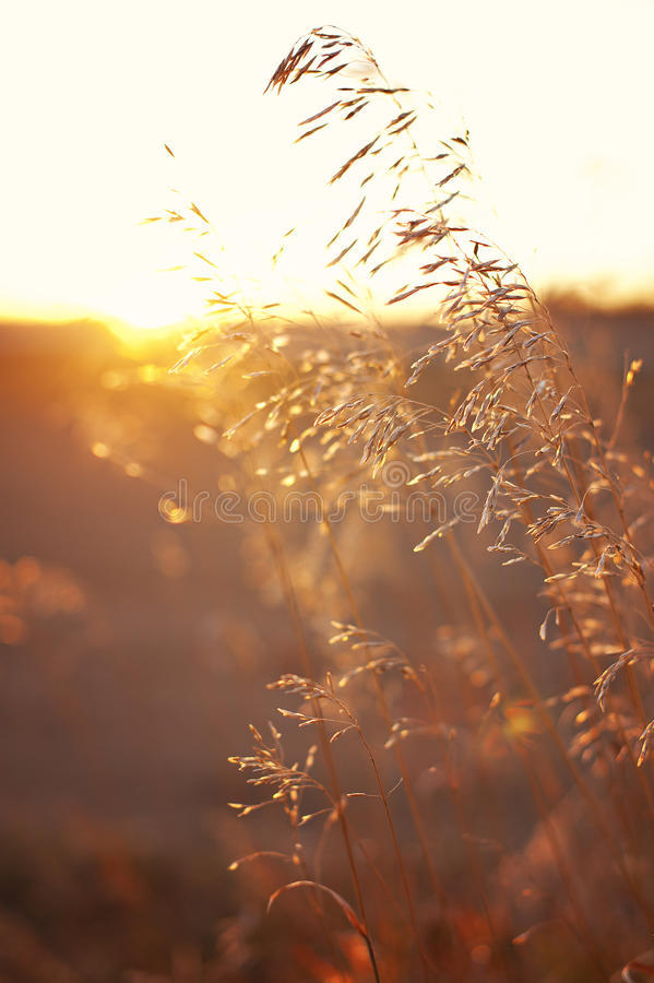 Download Wheat/Grains On A Prairie Sunset Stock Photo - Image: 40178734
