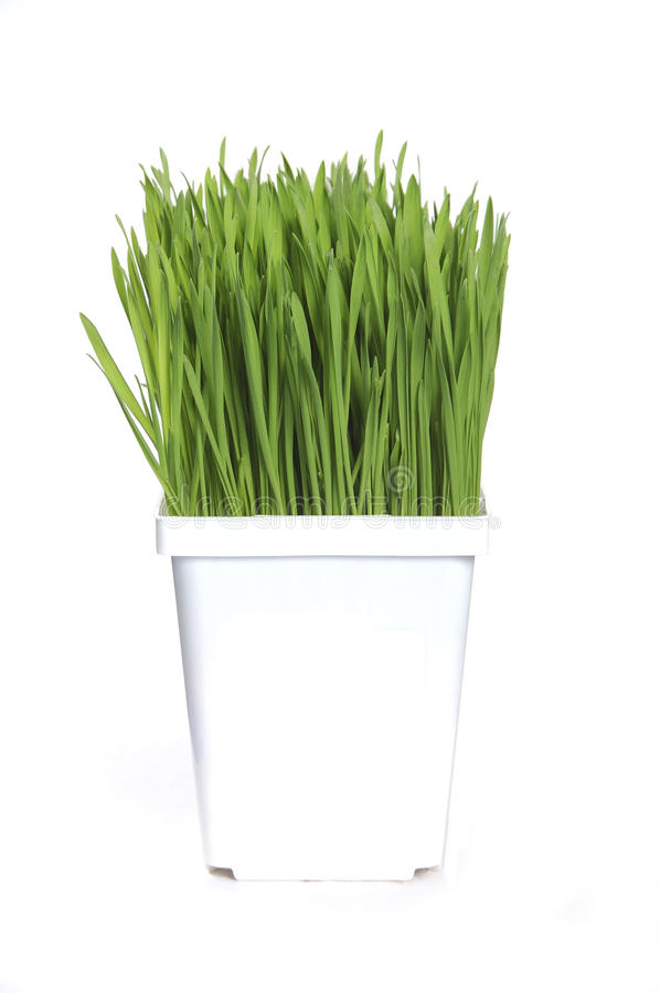 Wheat grass. Healthy green wheat grass growing in white pot on white background stock image
