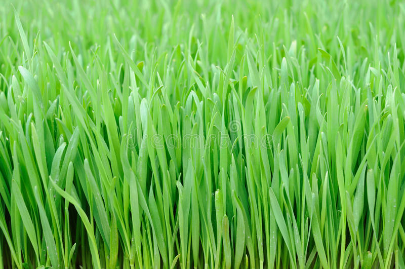 Download Wheat grass stock image. Image of agriculture, lawn, organic - 12966777
