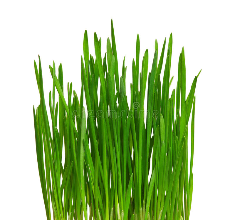 Wheat grass stock image