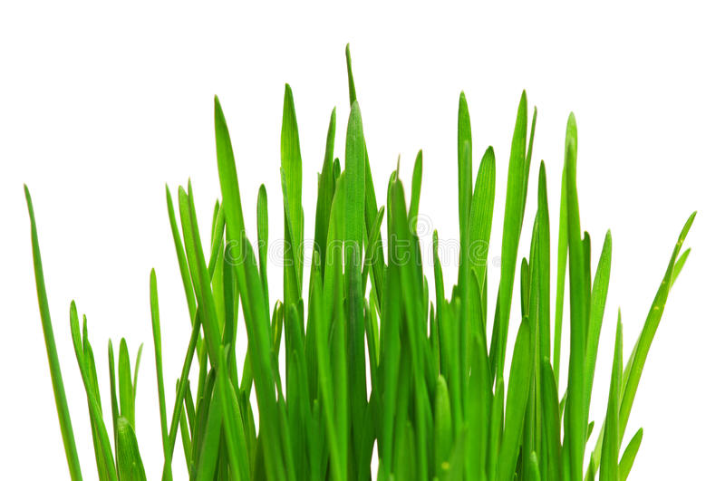 Wheat grass royalty free stock photo
