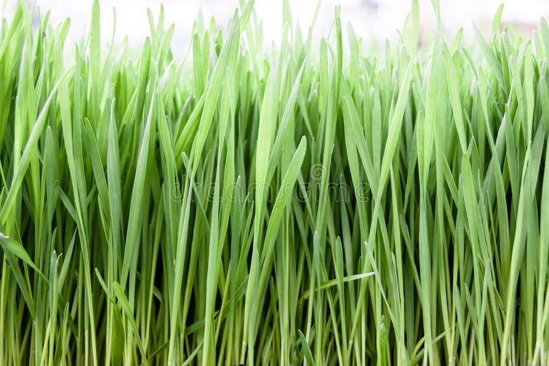 Wheat grass. Close up shot of wheat grass stock images