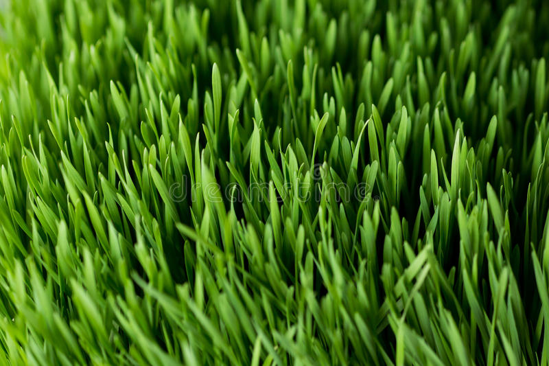 Download Wheat Grass Closeup Royalty Free Stock Photography - Image: 36236297
