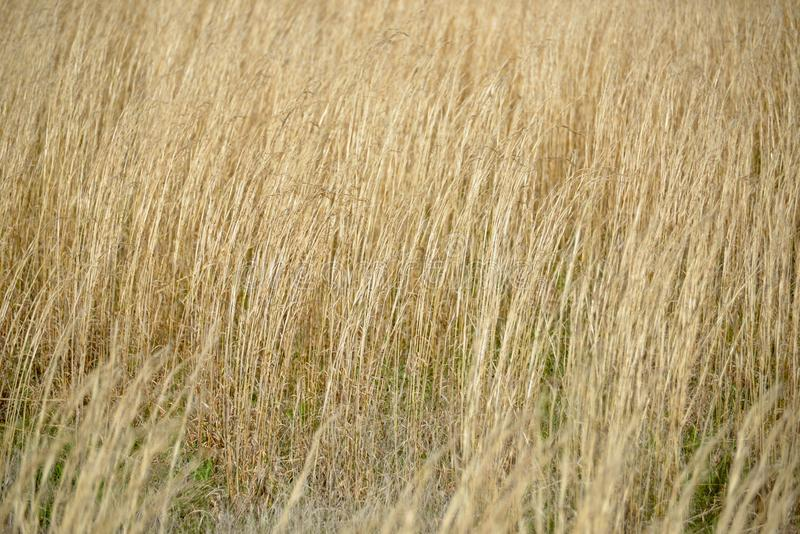 Wheat grass field. A field of wheat grass on a bright sunny day stock photography