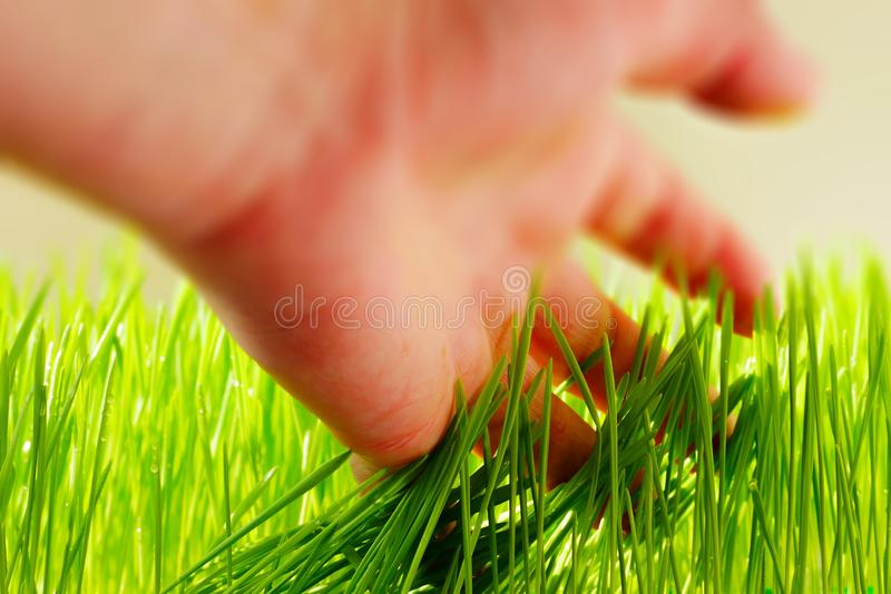 Wheat grass. Fresh wheat grass in a container stock photography
