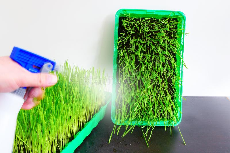 Wheat grass. Fresh wheat grass in a container stock photo