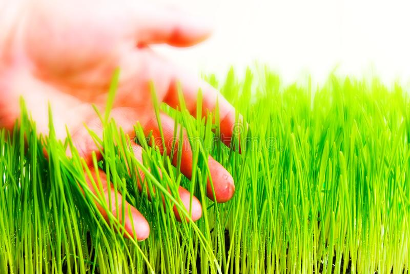 Wheat grass. Fresh wheat grass in a container stock image