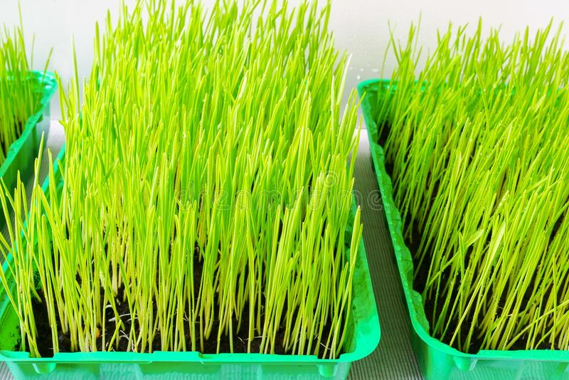 Wheat grass. Fresh wheat grass in a container royalty free stock photo