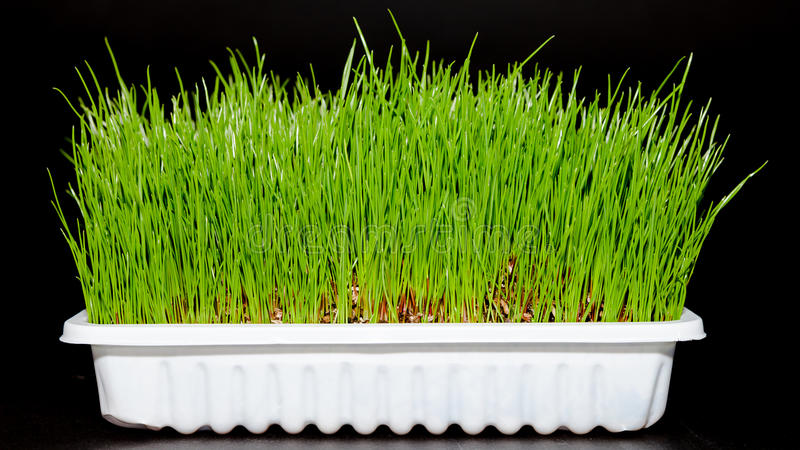 Wheat grass. Fresh green Wheatgrass / wheat grass growing in white tray royalty free stock images