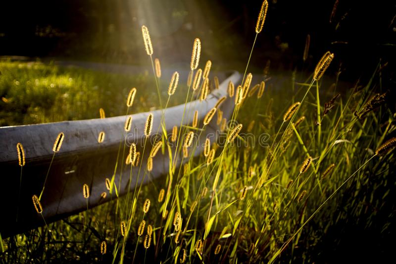 Wheat grass on guard rail on old country road in sunlight stock image