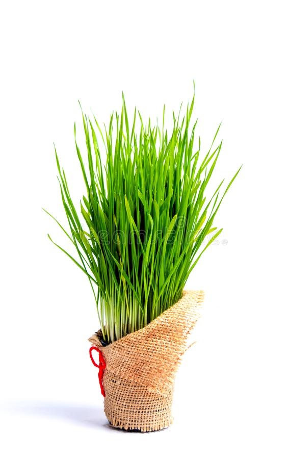 Wheat grass in a pot isolated. On white background stock photos