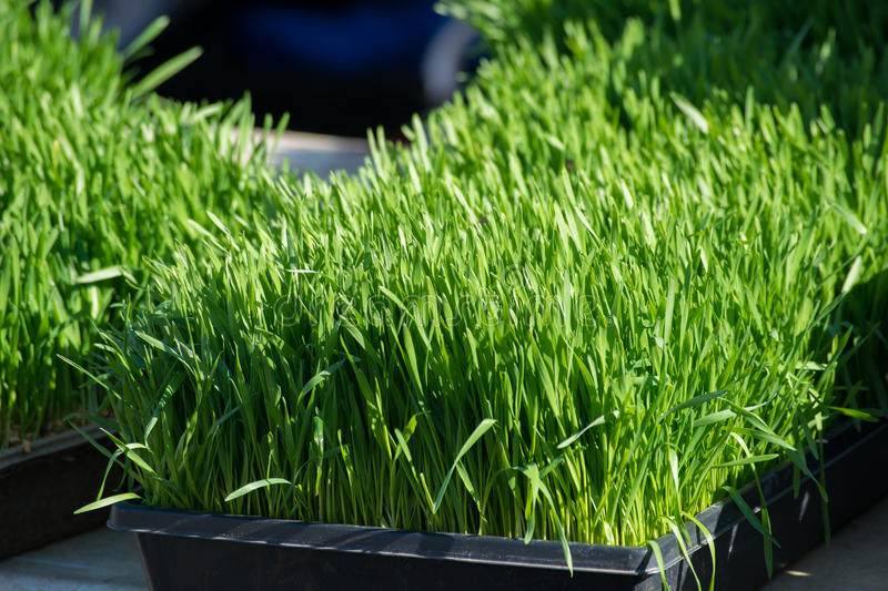 Wheat Grass with Strong Shadows stock photography