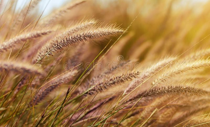 Wheat in the wind at nice evening sun light royalty free stock image