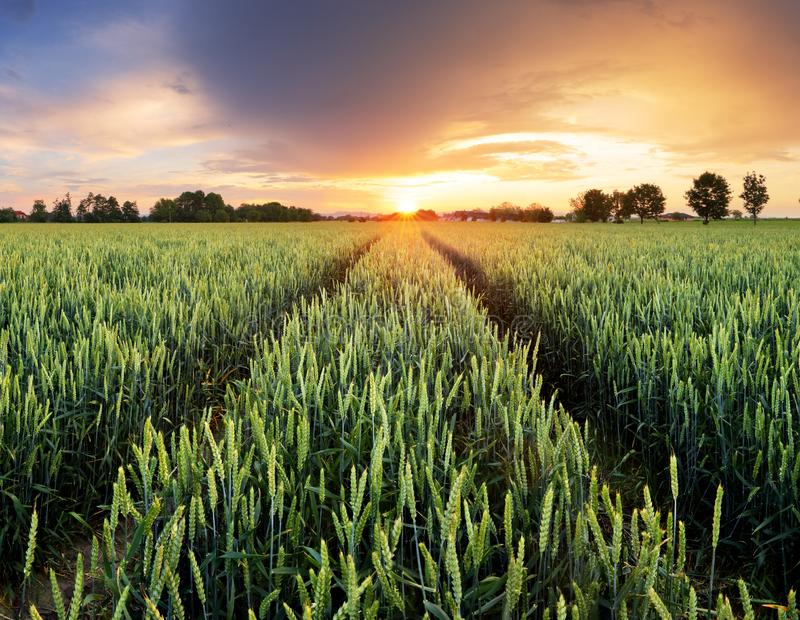 Wheat green field at dramatic sunset royalty free stock photo