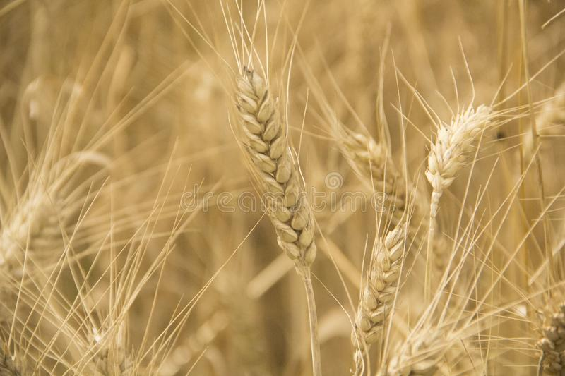 Wheat grow at field during Summer. Crops are ready to harvest. Wheat in natural colours during Summer at field in village. Looking at photo you can really feel royalty free stock photo